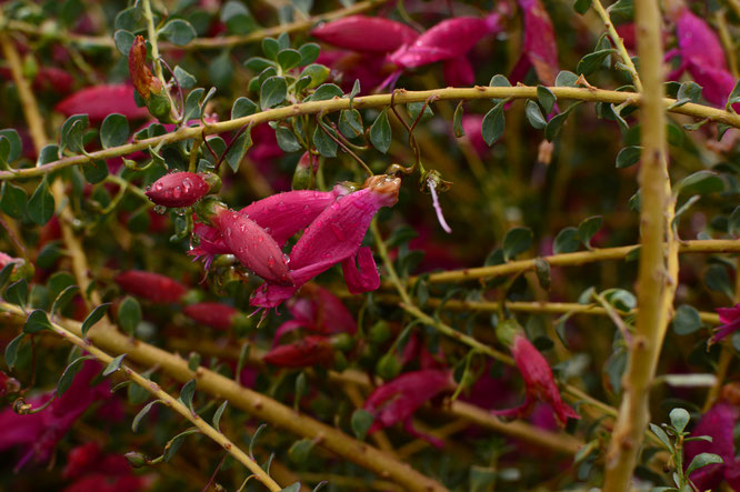 "Eremophila maculata ""Valentine"""