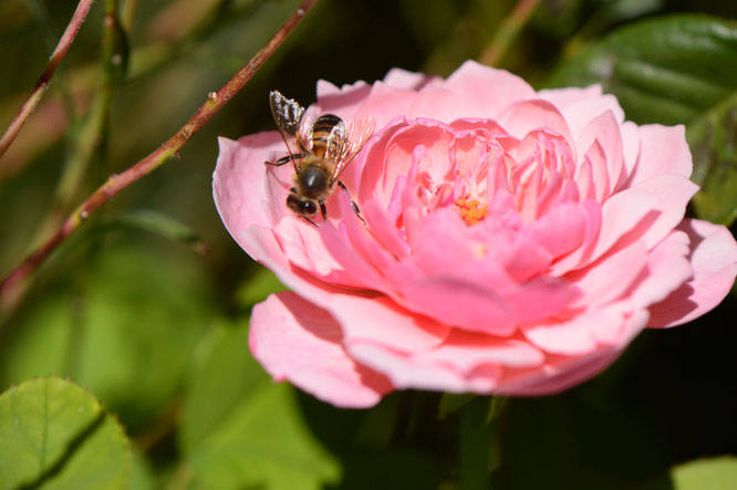 The Alnwick Rose with bee