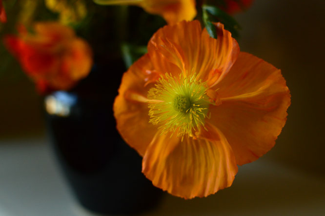 small sunny garden, desert garden, amy myers, photography, in a vase on monday, iavom, monday vase, iceland poppy, papaver, nudicaule