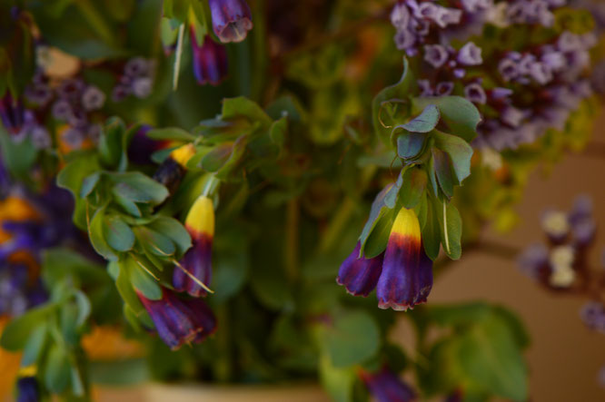 small sunny garden, desert garden, amy myers, photography, garden photography, in a vase on monday, iavom, monday vase, cerinthe, major purpurea, honeywort