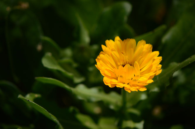 small sunny garden, desert garden, amy myers, photography, gbbd, garden bloggers bloom day, spring, flowers, calendula, pot marigold