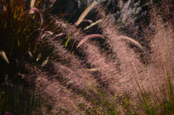 Tuesday view, ornamental grasses, muhlenbergia, regal mist, small sunny garden, desert garden, amy myers, photography