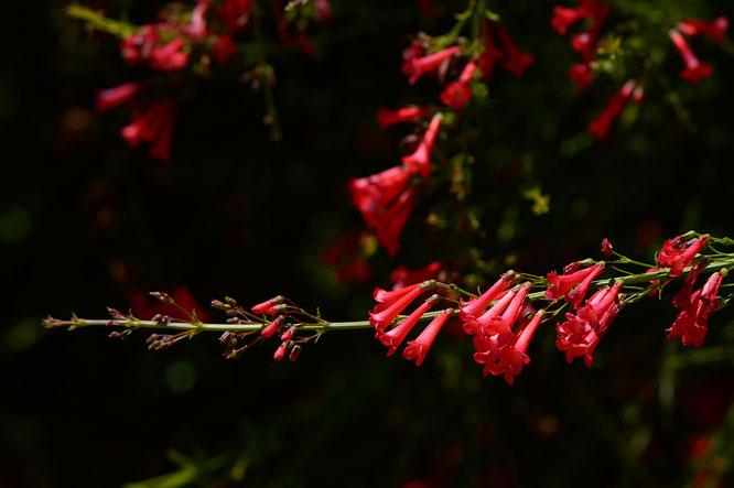 russelia equisetiformis big red