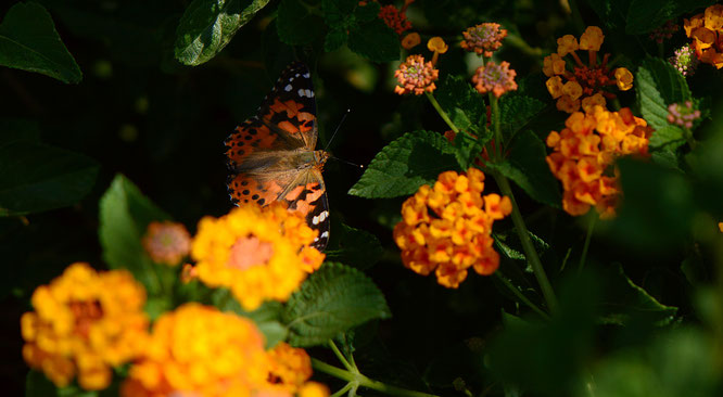Painted Lady butterfly (Vanessa cardui) on lantana