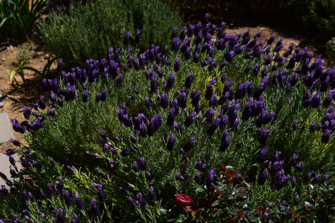 small sunny garden, desert garden, amy myers, photography, tuesday view, march, spring, lavandula, stoechas, lavender, madrid