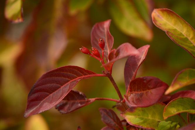 hamelia, patens, firebush, desert garden, small sunny garden, tropical, amy myers, photography, berries, winter, december, favorite