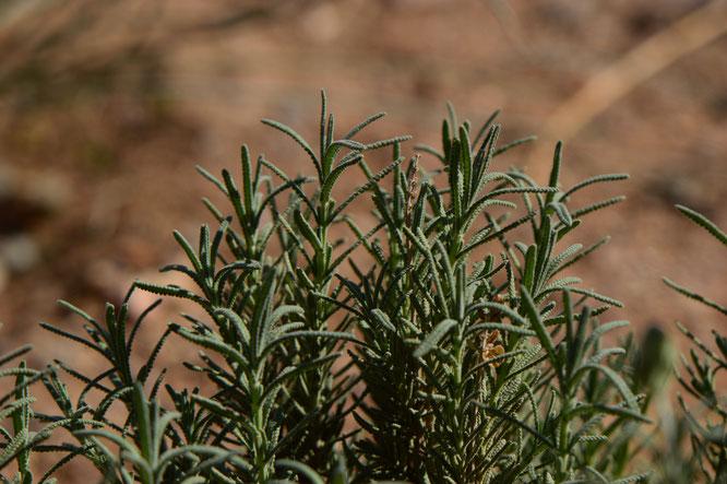 lavender, lavandula, small sunny garden, desert garden, gbfd, garden bloggers foliage day, amy myers, photography, dentata