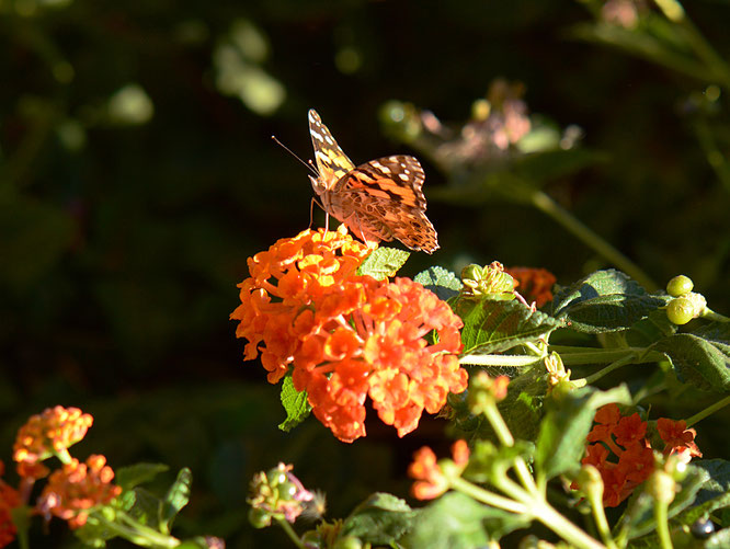 butterfly, photography, amy myers, small sunny garden, desert garden, lantana, wordless wednesday