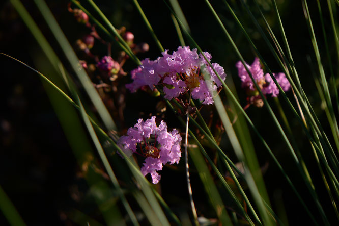 small sunny garden, desert garden, amy myers, tuesday view, autumn bloom, lagerstroemia, rhapsody in pink