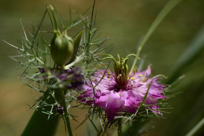 small sunny garden, desert garden, amy myers, photography, garden photography, blog, summer, nigella damascena, love in a mist,
