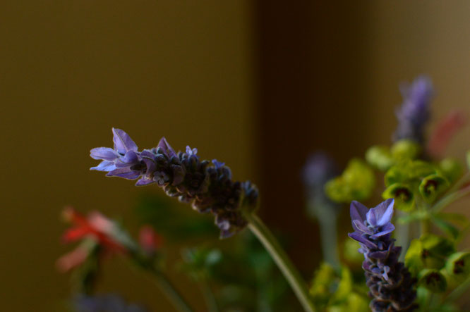 small sunny garden, desert garden, amy myers, photography, in a vase on monday, iavom, monday vase, lavender, lavandula dentata