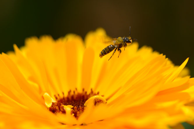 small sunny garden, desert garden, amy myers, photography, garden blog, calendula, bee, close up