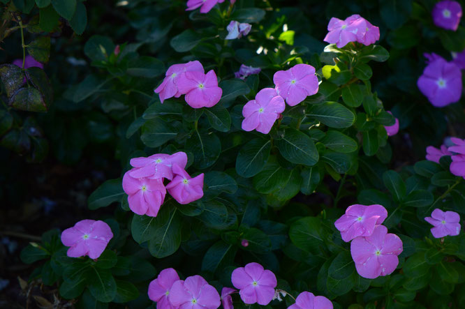 small sunny garden, desert garden, amy myers, garden bloggers bloom day, gbbd, november, photography, catharanthus, roseus, vinca