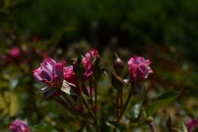 small sunny garden, desert garden, amy myers, photography, garden blog, tuesday view, miniature rose