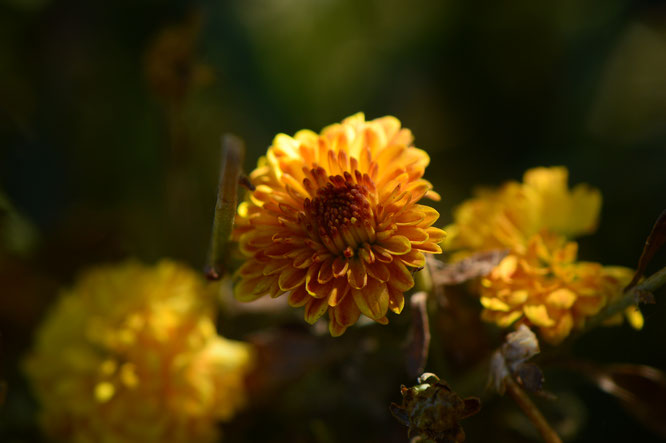 Yellow-bronze chrysanthemums