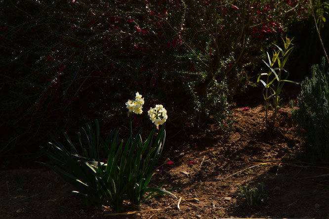 desert garden, small sunny garden, tuesday view, amy myers, photography, narcissus, tazetta
