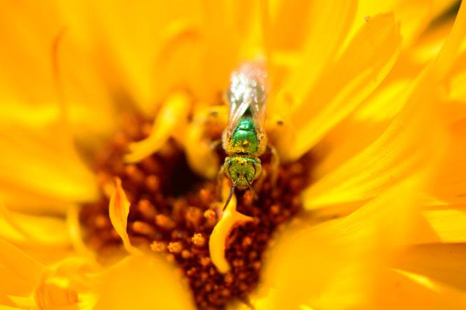 small sunny garden, desert garden, amy myers, photography, garden blog, calendula, bee, macro