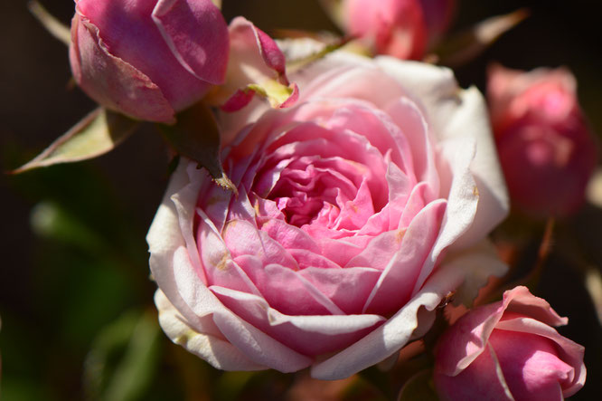 small sunny garden, desert garden, amy myers, photography, miniature rose