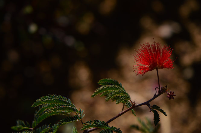 small sunny garden, desert garden, amy myers, photography, calliandra, baja red,