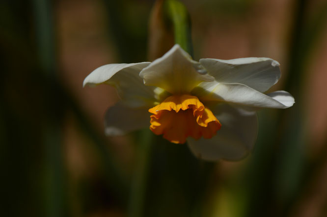 "Narcissus ""Bright Spot"""