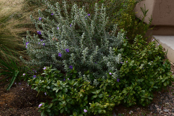 desert garden, small sunny garden, amy myers, garden structure, shrubs, eremphila, hygrophana
