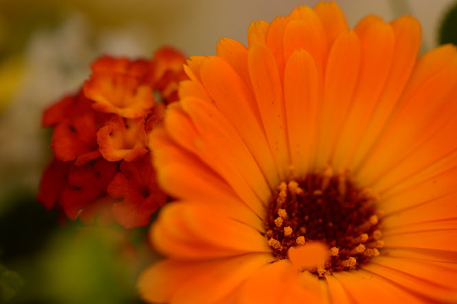 in a vase on monday, iavom, monday vase, small sunny garden, desert garden, amy myers, photography, garden blog, calendula