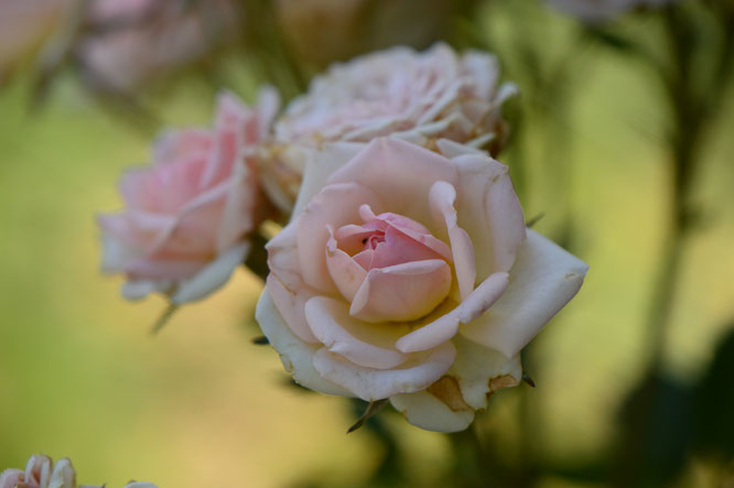 small sunny garden, desert garden, amy myers, photography, tuesday view, miniature rose