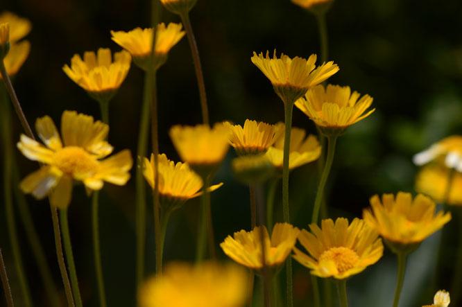 small sunny garden, desert garden, amy myers, photography, garden blog, tetraneuris, acaulis, angelita daisy