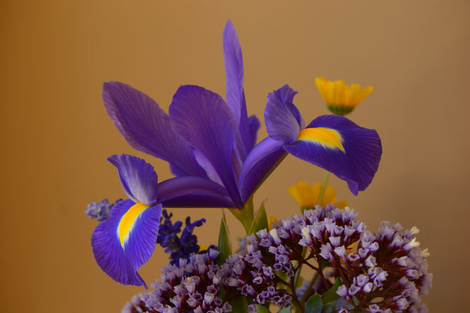 small sunny garden, desert garden, amy myers, photography, garden photography, in a vase on monday, iavom, monday vase, iris, dutch, blue magic, limonium perezii, tetraneuris acaulis