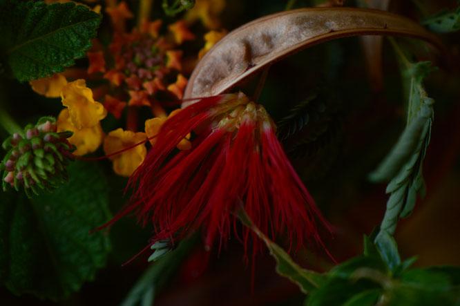 small sunny garden, desert garden, amy myers, in a vase on monday, monday vase, iavom, garden blog, calliandra californica, fairyduster