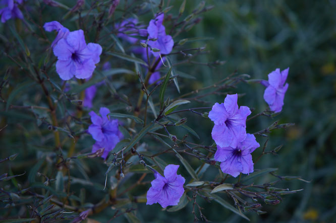 small sunny garden, desert garden, amy myers, garden bloggers bloom day, gbbd, november, photography, ruellia