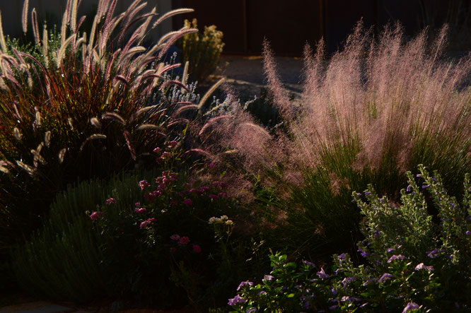 Tuesday view, miniature rose, small sunny garden, desert garden, amy myers, photography, ornamental grasses, muhlenbergia, pennisetum