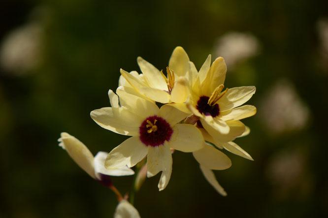 small sunny garden, desert garden, amy myers, photography, garden blog, tuesday view, ixia, corn lily