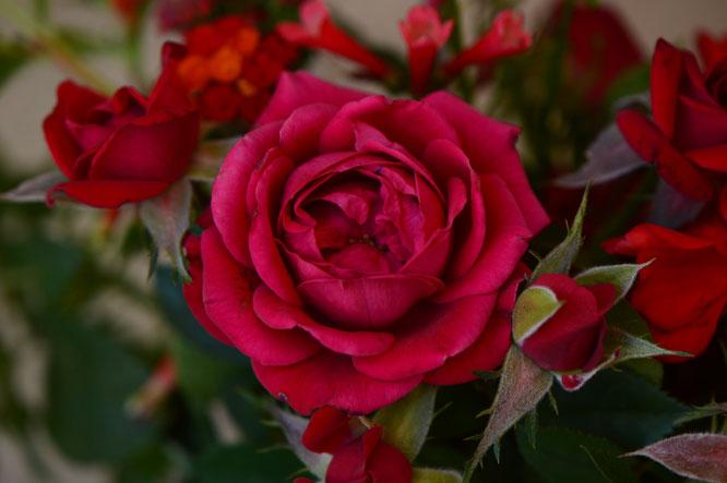 small sunny garden, desert garden, amy myers, photography, garden, blog, in a vase on monday, monday vase, iavom, rose, daniela, miniature