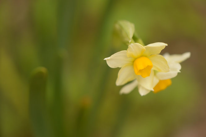 small sunny garden, desert garden, narcissus, autumn colors, bill the bulb baron, amy myers, photography