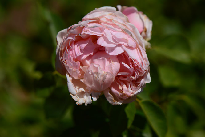 small sunny garden, desert garden, amy myers, photography, garden photography, rose, david austin, st swithun