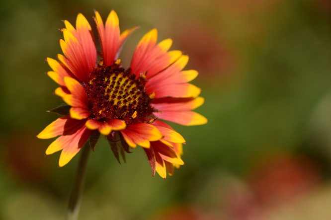 Gaillardia pulchella has made its first appearance in the border this year.  Sadly, it is not proving very rabbit proof.  This bloom was from several weeks ago, but I thought it deserved some mention!