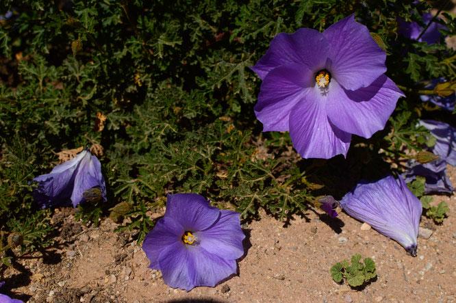 small sunny garden, desert garden, amy myers, photography, gbbd, garden bloggers bloom day, spring, flowers, alyogyne huegelii, blue hibiscus, australian