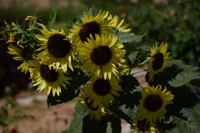 small sunny garden, desert garden, amy myers, photography, garden photography, garden blog, garden bloggers bloom day, gbbd, sunflowers
