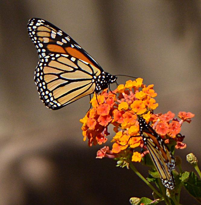 butterfly, queen, amy myers, photography, small sunny garden, desert garden, Danaus plexippus
