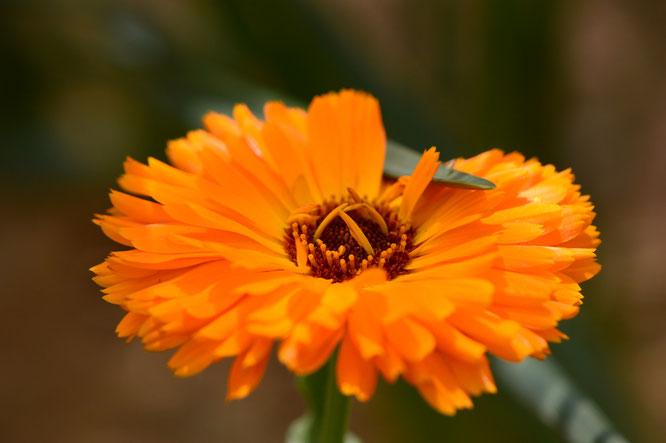 small sunny garden, desert garden, amy myers, photography, garden blog, calendula, pot marigold