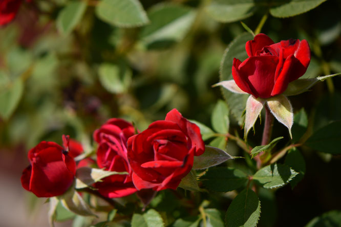 daniela, miniature, rose, kordes, small sunny garden, amy myers, desert garden, october