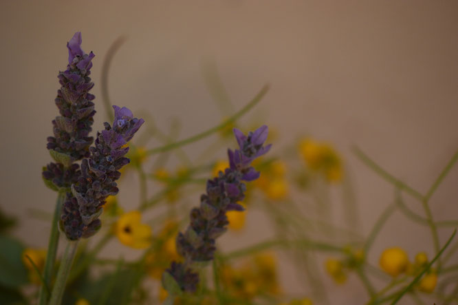 small sunny garden, desert garden, amy myers, photography, in a vase on monday, iavom, monday vase, lavender, lavandula dentata