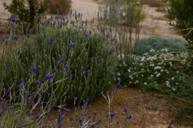 lavandula multifida and the white and silver garden