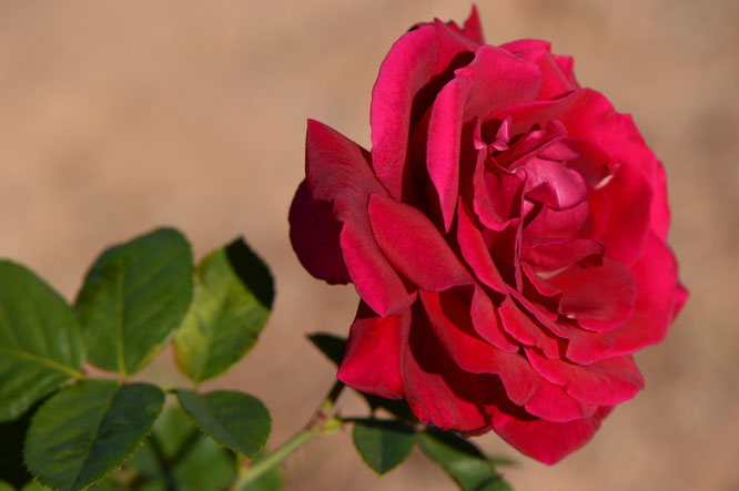 mister lincoln, hybrid tea, rose, herbert swim, small sunny garden, desert garden, amy myers, photography