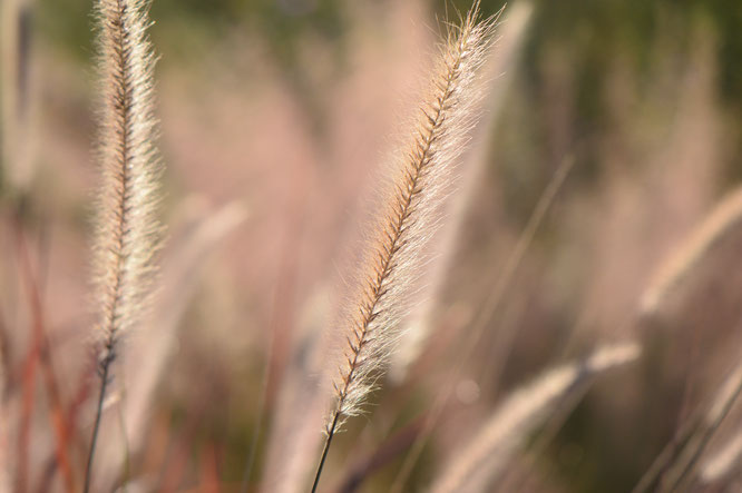 small sunny garden, desert garden, amy myers, garden bloggers bloom day, gbbd, november, photography, pennisetum, rubrum, ornamental grass
