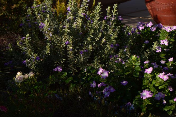 Tuesday view, eremophila, hygrophana, catharanthus, small sunny garden, desert garden, amy myers, photography