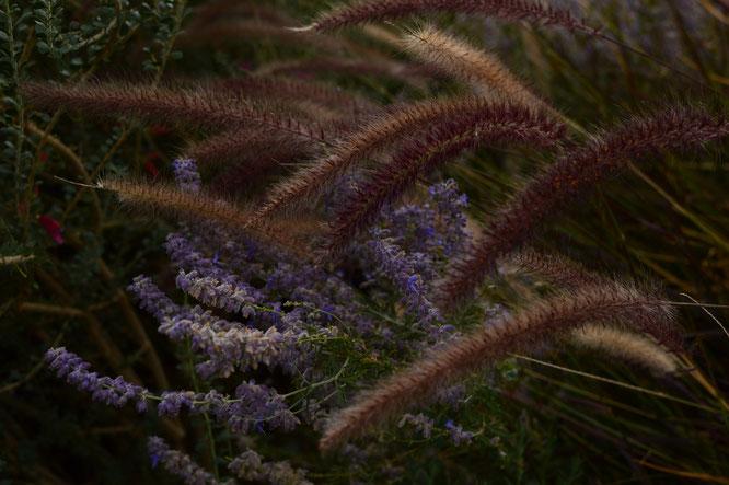 perovskia atriplicifolia, pennisetum rubrum