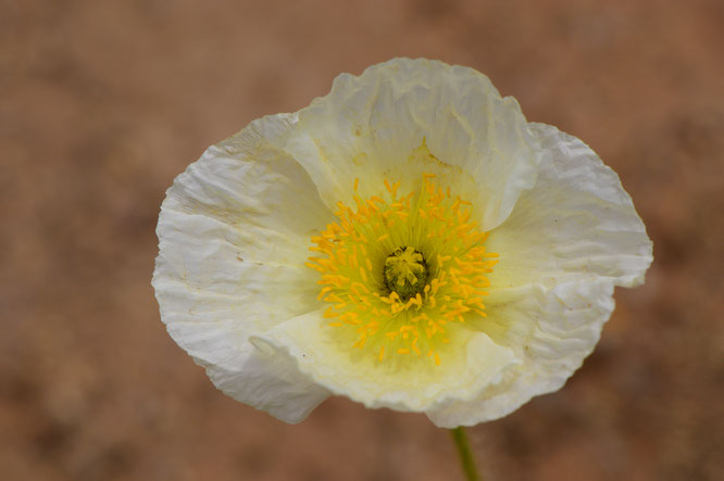small sunny garden, desert garden, amy myers, photography, garden blog, papaver nudicaule, iceland poppy