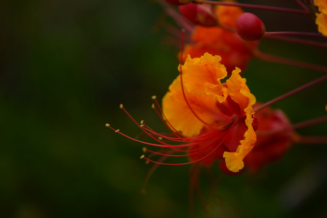 small sunny garden, desert garden, amy myers, photography, garden photography, blog, summer, caesalpinia pulcherrima, red bird of paradise, pride of barbados